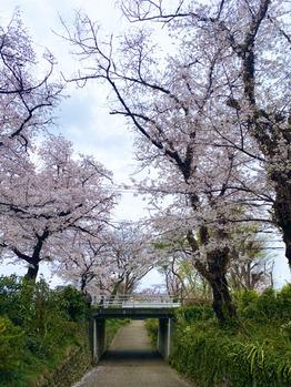 立川の花見スポット_20210329_1
